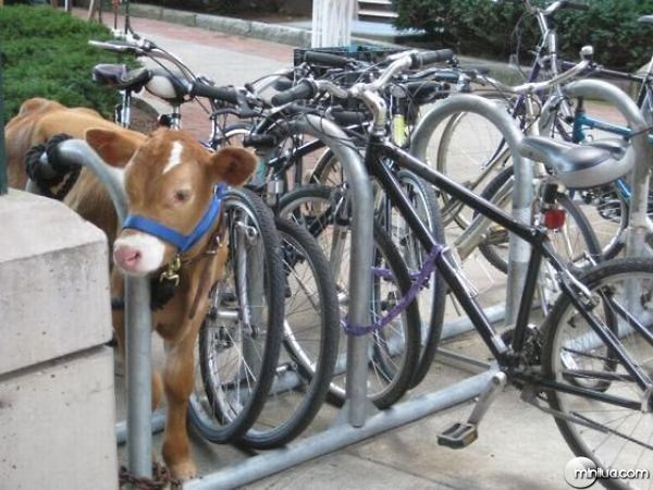 a.aaa-Just-parking-my-...Cow