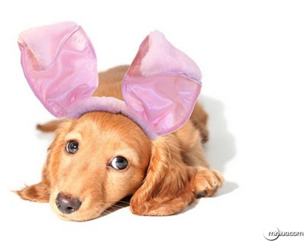 dog-picture-photo-longhaired-dachshund-bunny-costume