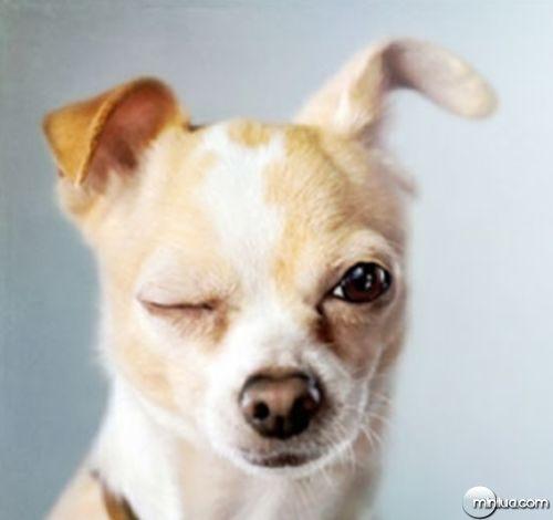 cachorro-pin