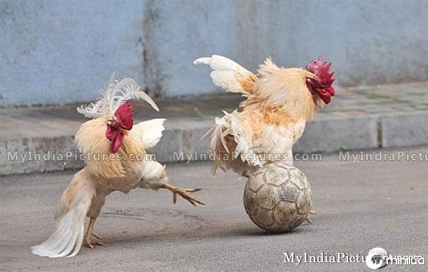 hen-cock-playing-football-funny-amazing-india