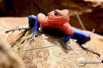lagarto homem aranha