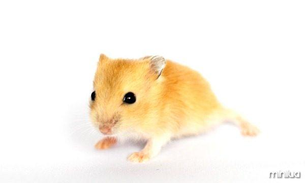galeria-filhotes-fofos-hamster