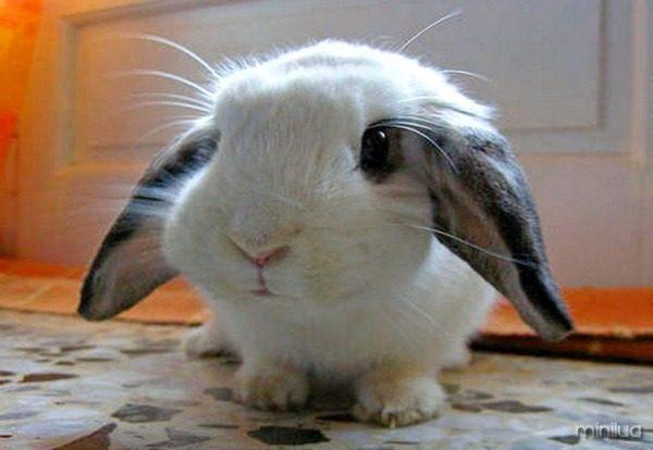 mini-coelho-fofo