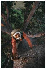 In order to climb such giant trees, Bahadur cuts steps with an axe blade. Certain nests can be 40 metres high.<br /><br /><br /> Pour escalader les arbres geants, Bahadur Raji taille des marches avec un fer de hache. Les nids d abeille sont situes parfois a plus de 40 metres de hauteur.<br /><br /><br />