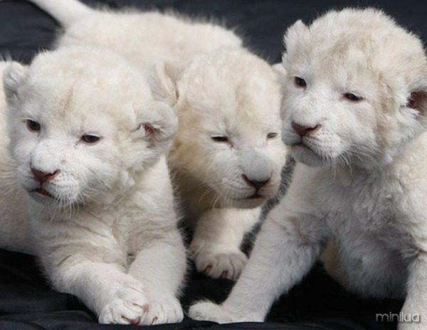 Three white lion cubs play at a wildlife zoo in Schloss-Holte Stukenbrock July 14, 2008. Both of the park's two rare white lionesses gave birth simultaneously to seven cubs on June 30. Three of the cubs are being hand-fed after their mother rejected them. REUTERS/Alex Grimm (GERMANY)