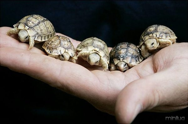 """An animal expert holds five new born Testudo Kleinmanni, knows as """"Egyptian tortoises"""" at Rome's Zoo, Thursday, May 17, 2007. These endangered tortoises were recently born in Rome after their parents were confiscated with some 300 others tortoises discovered in luggage arriving from Libya by Italian park guards during an inspection at an Italian airport in 2005. (AP Photo/Pier Paolo Cito) Original Filename: APTOPIX_ITALY_LIBYA_BABY_TORTOISES_PPC102.jpg"""