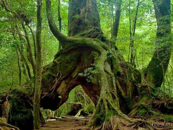 some-trees-are-giant-in-yakushima