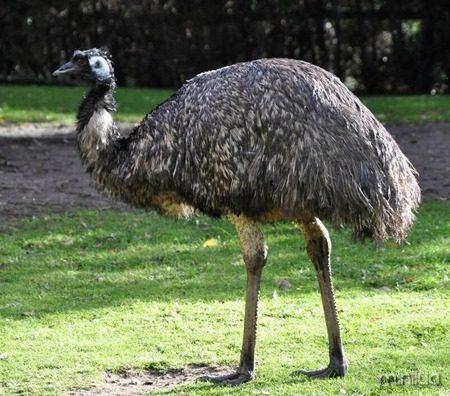 emu-australiano