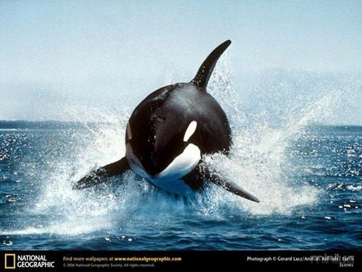 fotos da natgeo orca[3]