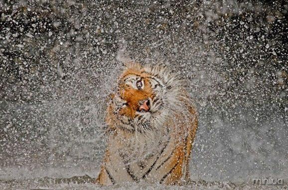 fotos da natgeo tigre[7]