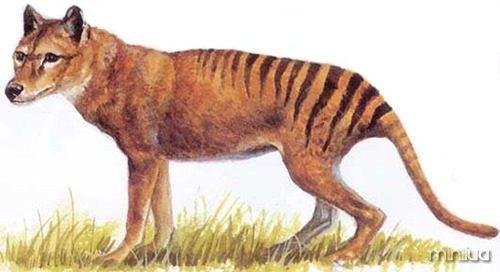 tigredatasmania2