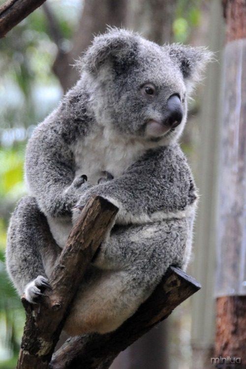 coala-bicho-lindo-e-preguicoso