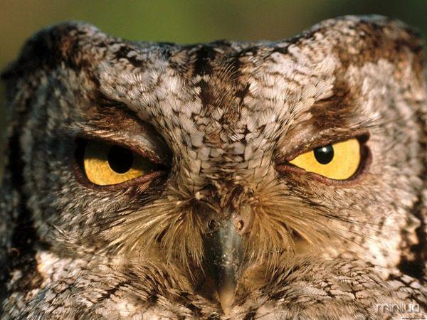 Western-Screech-Owl