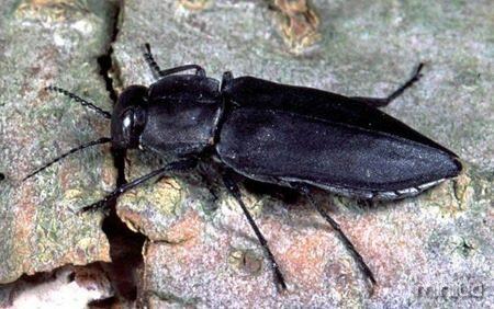 Melanophila-Beetles-e1381342934448