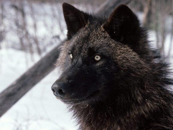 Tundra-Wolf-Alaska-Wallpaper