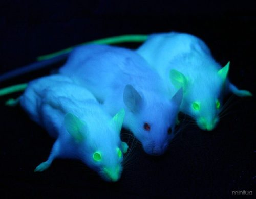 769px-GFP_Mice_01