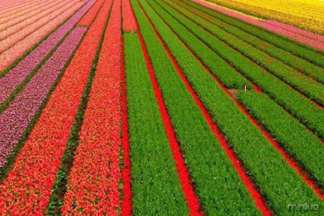 holland-tulip-fields-01