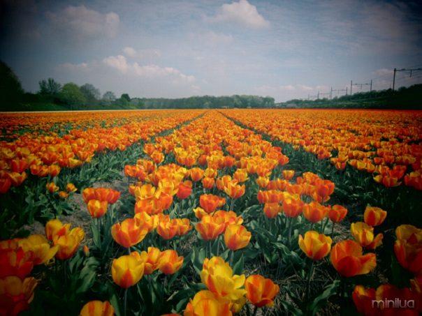 tulip-fields-holland_435