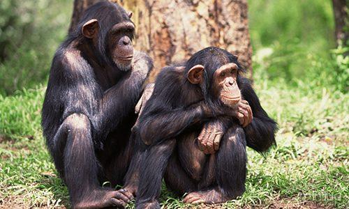 chimpanzee (1)