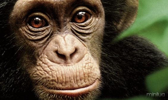 chimpanzee_xlg1