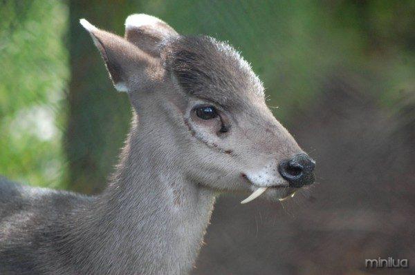 Elaphodus cephalophus ciervo con colmillos 4