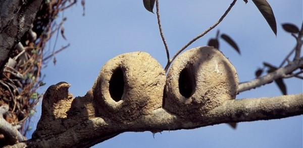 Two-rufous-hornero-nests-next-to-another-part-finished-nest