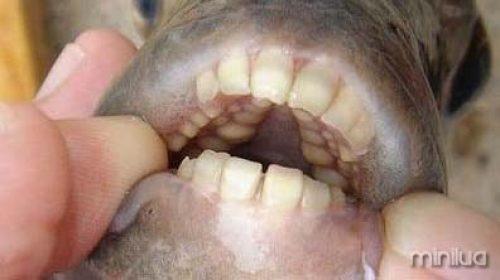 dentes-de-pacu