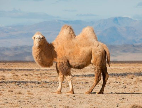 12068383-bactrian-camel-in-the-steppes-of-mongolia-true-to-transport-a-nomad