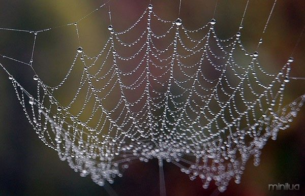 spiderweb-dew