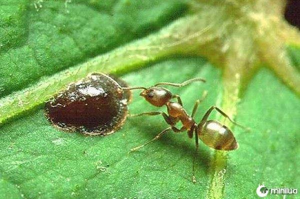 7-ant