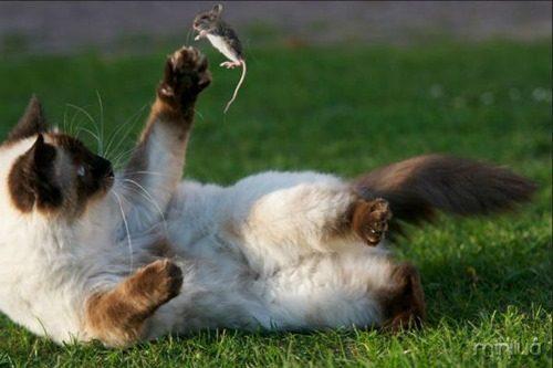 gato-brincando-rato