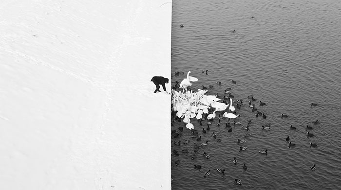 Um homem que alimenta cisnes na neve