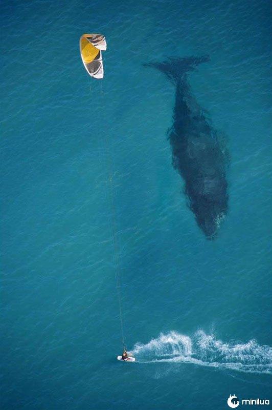 Kite-surf-com-baleia-abaixo-aérea-tiro-de-acima