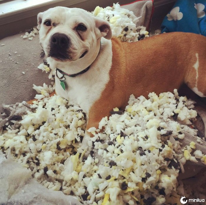 Todo mundo está postando sobre seus cães olhando culpado e, em seguida, há meu cão, que está claramente orgulhoso de seu trabalho