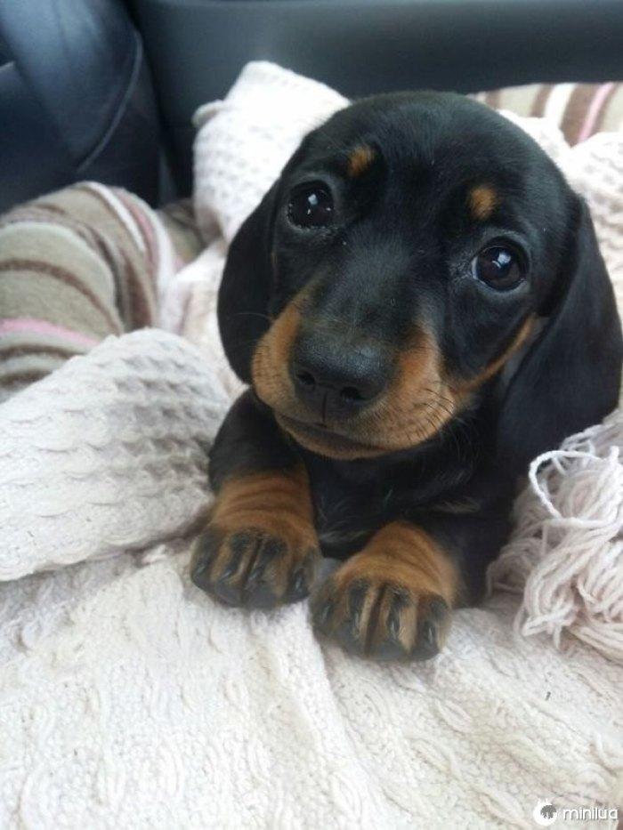E este Sweetie do Cão-cão-eyed