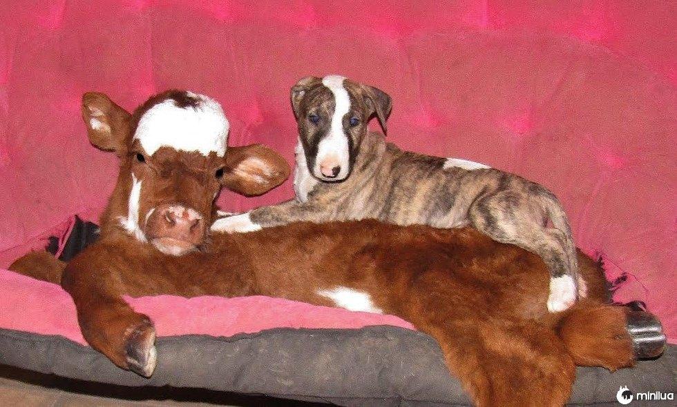 Resgatado vaca em miniatura tornando-se amigos com um cão