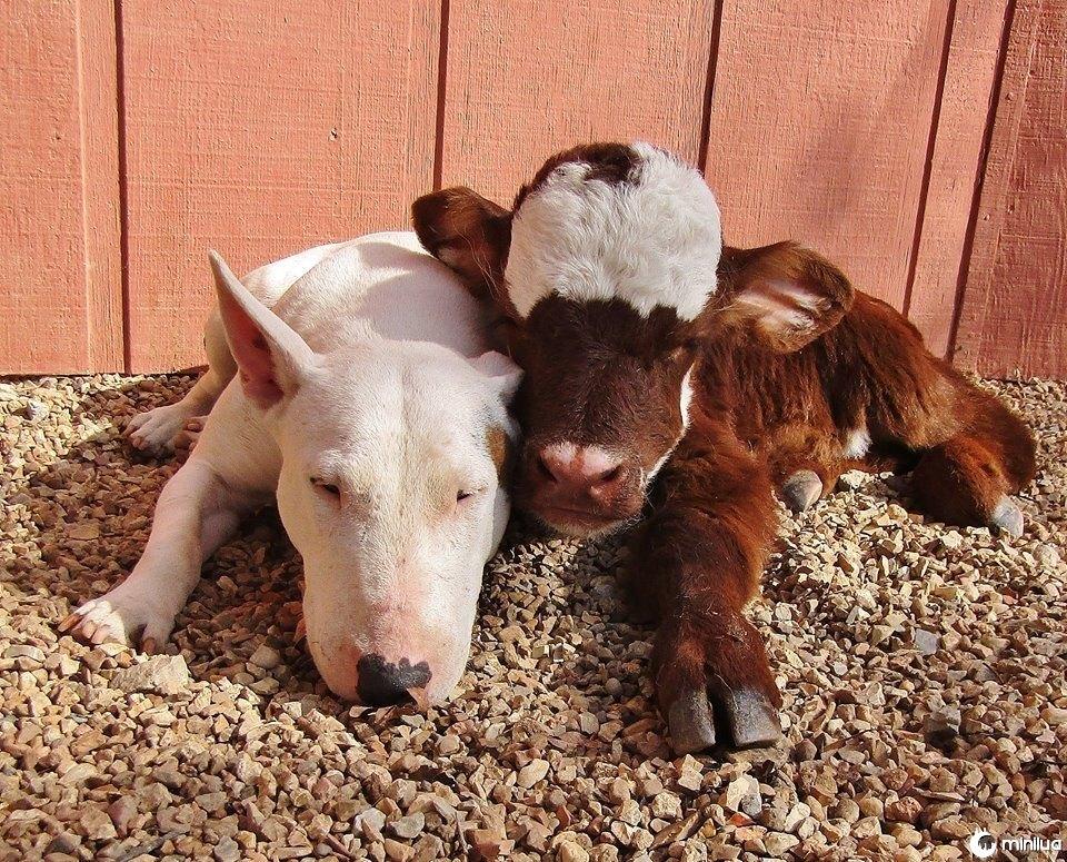 Spackle o cão e Moonpie a vaca diminuta são melhores amigos
