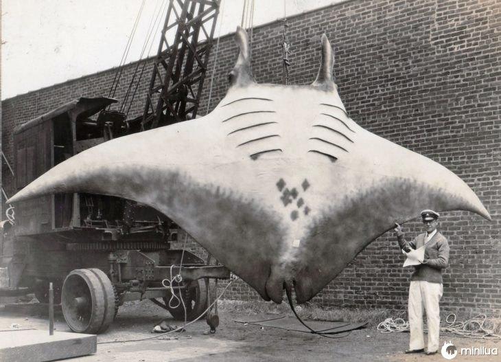 pescada arraia gigante