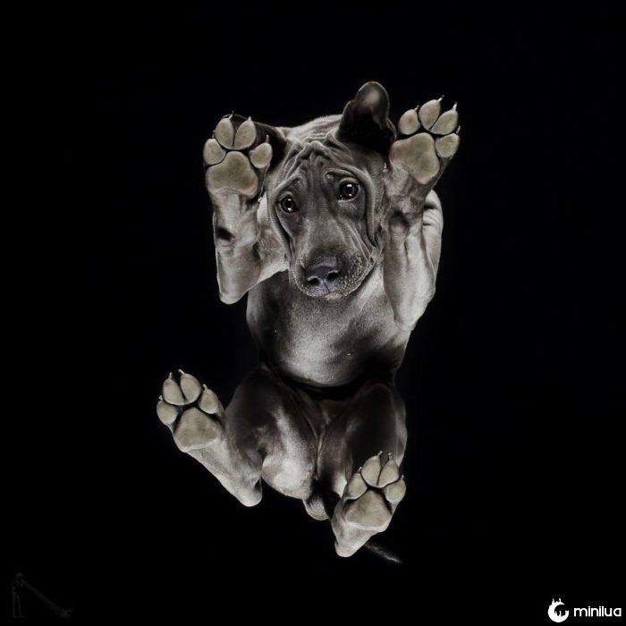 pitbull cão visto abaixo