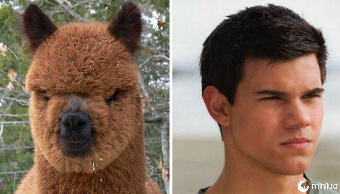 Alpaca parece Taylor Lautner