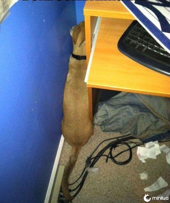 Cão que esconde em um armário ea parede