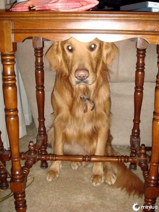 Cão que esconde a tabela abaixo