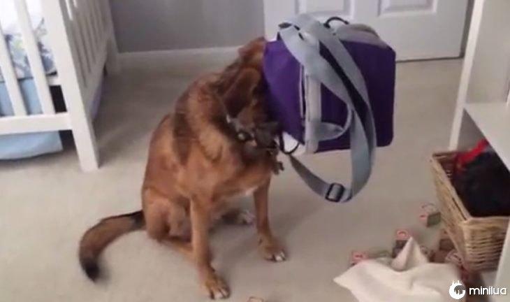Cão que esconde em maletincito