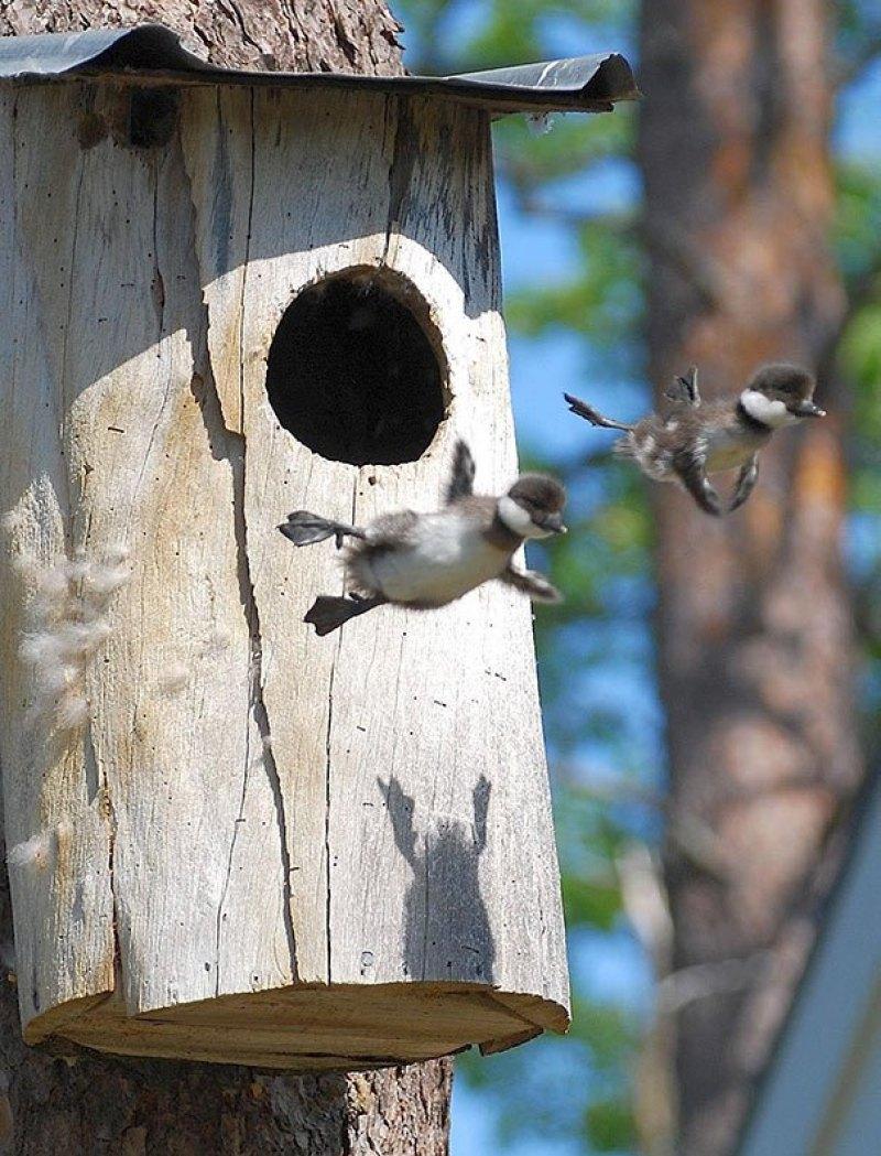 Dois patos comuns do Goldeneye do bebê deixam o ninho pela primeira vez