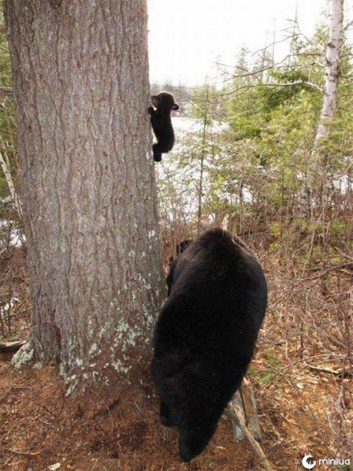 Primeira lição de escalada do urso do bebê