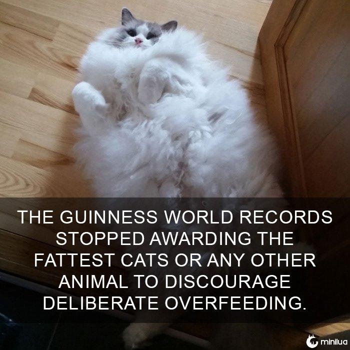 Gato Fato