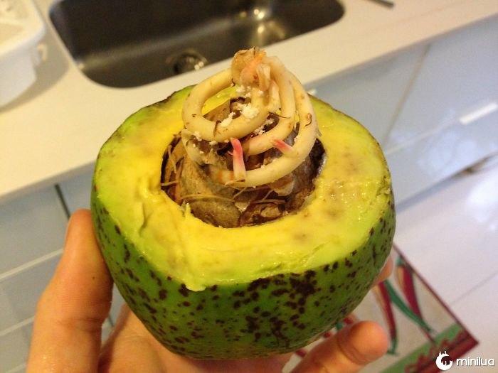 Uma árvore de abacate estava começando a crescer dentro do meu abacate