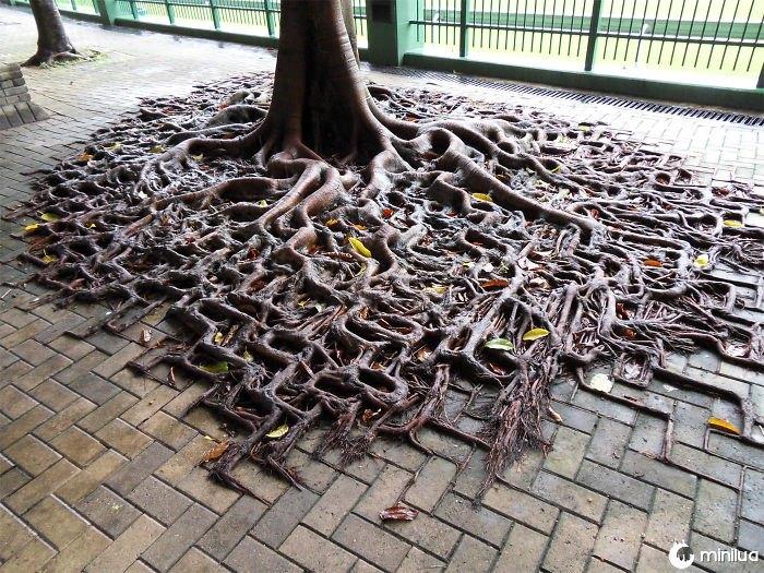 Um derramamento de raiz da árvore sobre a calçada