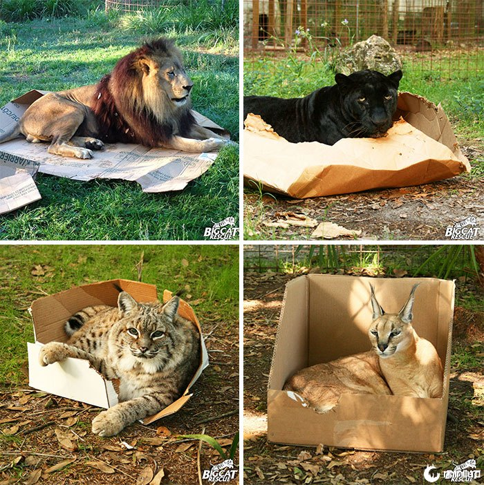 Big Cats Love Boxes também