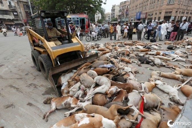 no Paquistão matam 700 cães 2